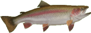 Rainbow trout - Image